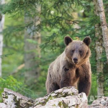 myfido slovenian bears orsi